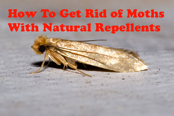 How To Get Rid Of Moths With Natural Repellents Quiet Corner