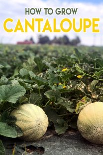 Gardening Guide - How To Grow Cantaloupe