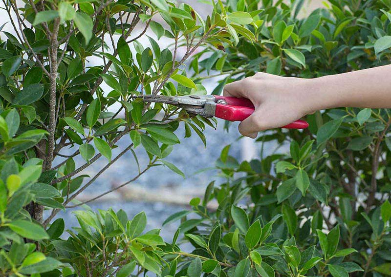 Pruning a Tree and Garden Shrubs