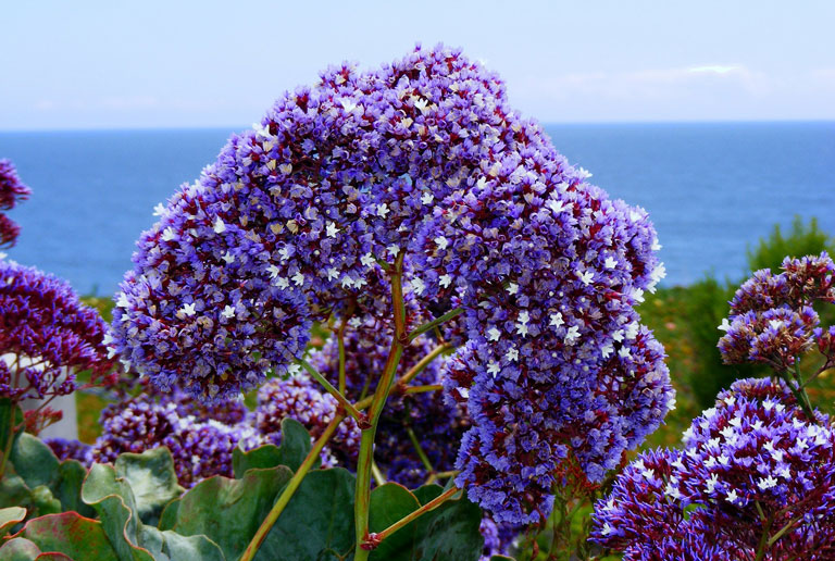 Statice Limonium - Growing I Miss You Flowers