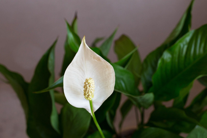 easy houseplants how to care for peace lily - Peace Plant Care