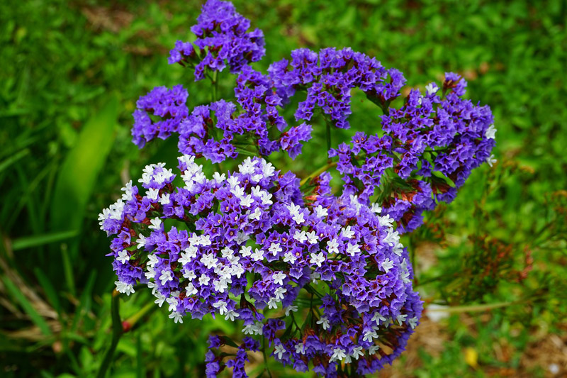 "Statice / Limonium - Growing ""I Miss You"" Flowers"
