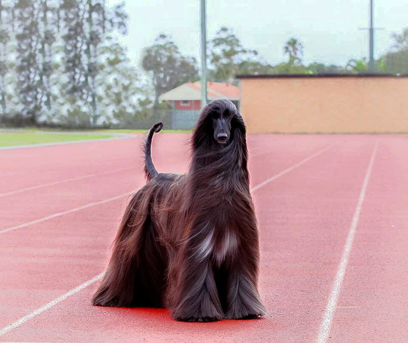Afghan Hound Tea – Prettiest Dog In The World?