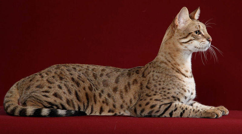 Quiet Corner:Cat Breed Info - Savannah Cat - Quiet Corner