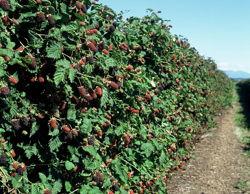 Amazing Health Benefits of Boysenberries