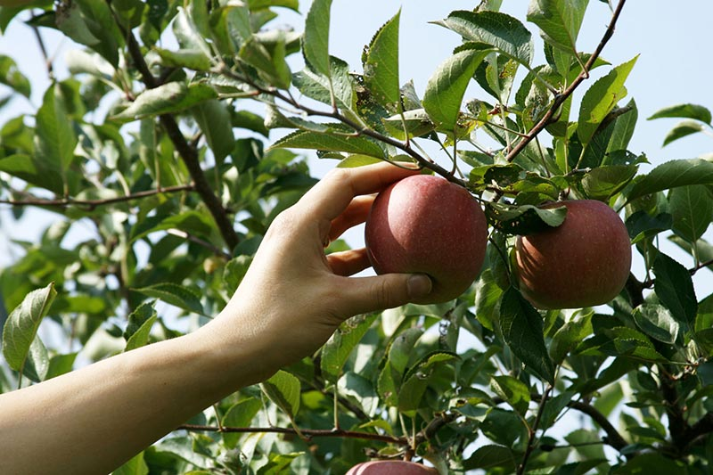 Apple Tree - Planting, Growing,Pruning and Harvesting