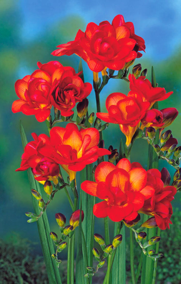 Freesia Planting Guide