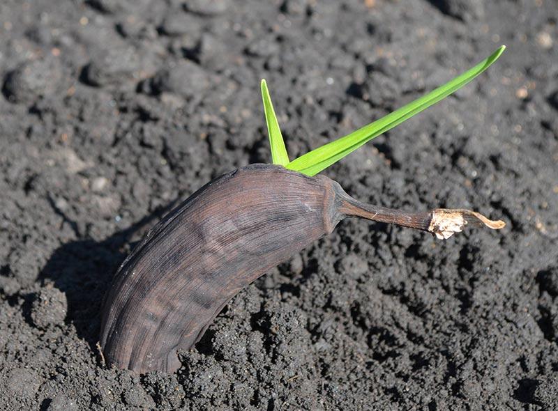 Quiet Corner How To Grow Banana Trees In Pots