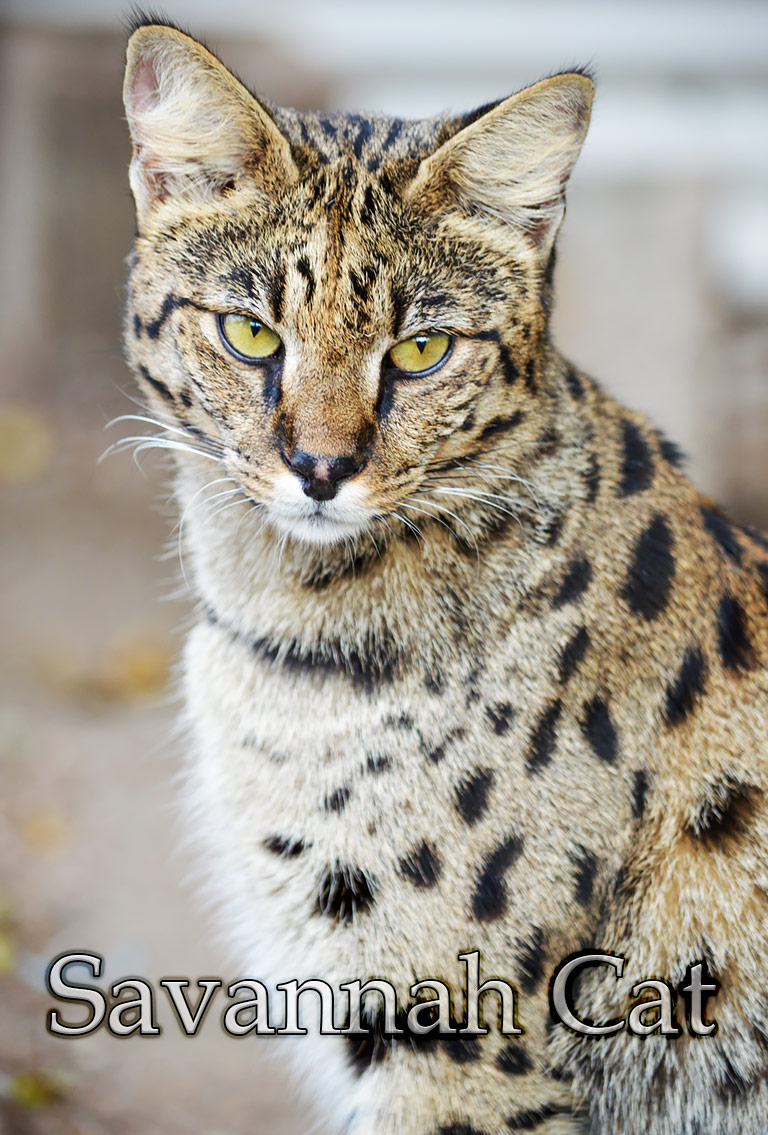 Cat Breed Info – Savannah Cat