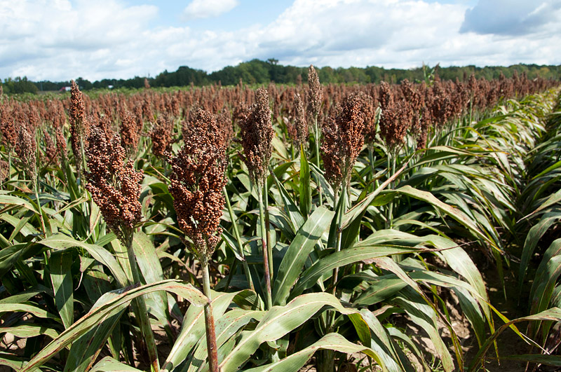 Gluten-Free Nutrient Powerhouse Wonder Grain - Sorghum