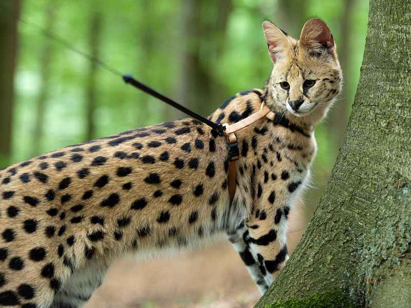 Cat Breed Info - Savannah Cat