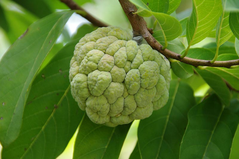 Custard Apples Amazing Health Benefits And Uses
