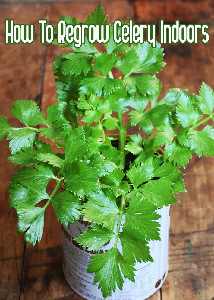 How To Regrow Celery Indoors