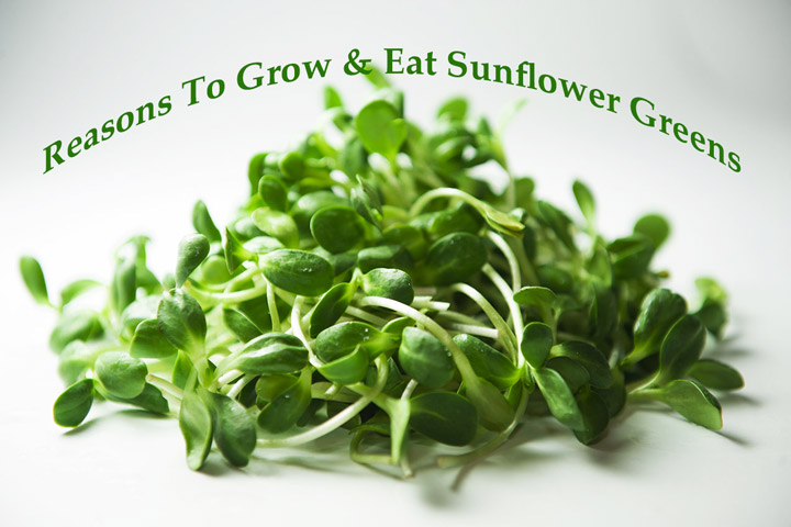 Reasons To Grow & Eat Sunflower Greens