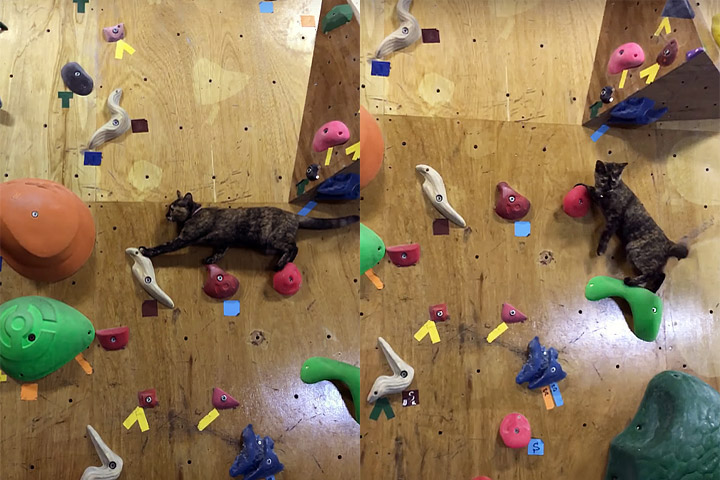 Funny Animal Video - Cat Masters Climbing Wall - Quiet Corner