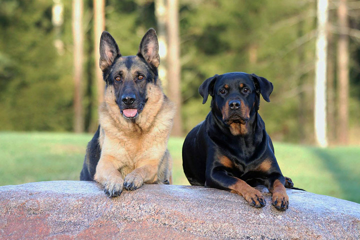top 4 commonly misunderstood dog breeds   quiet corner