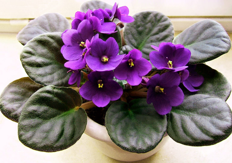 African Violets: Tips For Feeding, Propagating & More - Quiet Corner