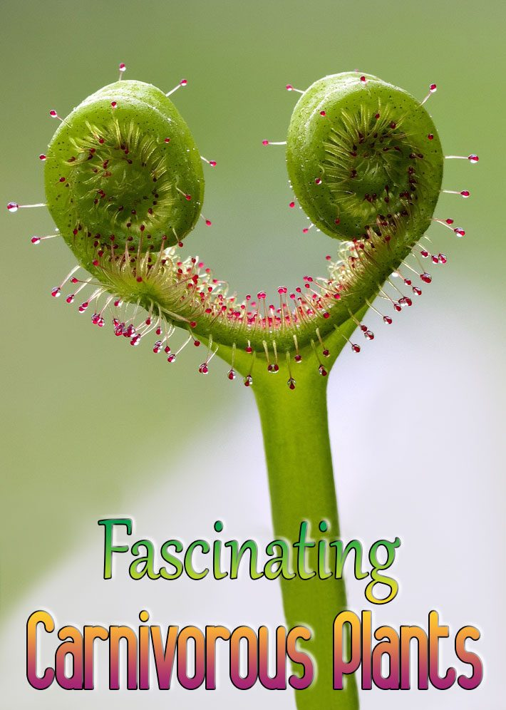 About Fascinating Carnivorous Plants