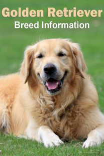 Golden Retriever – Breed Information
