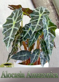 Growing Amazon Elephant's Ear (Alocasia Amazonica)