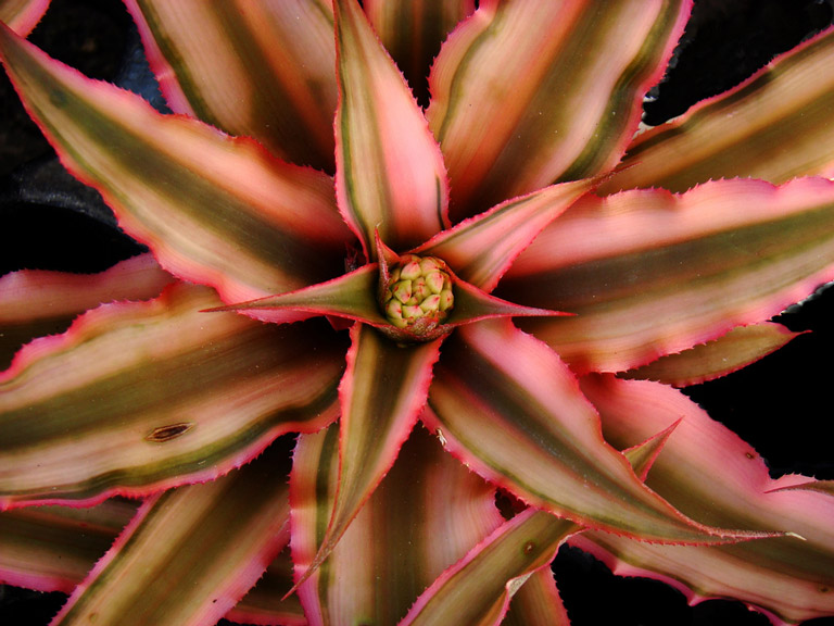 How to Grow Cryptanthus Inside