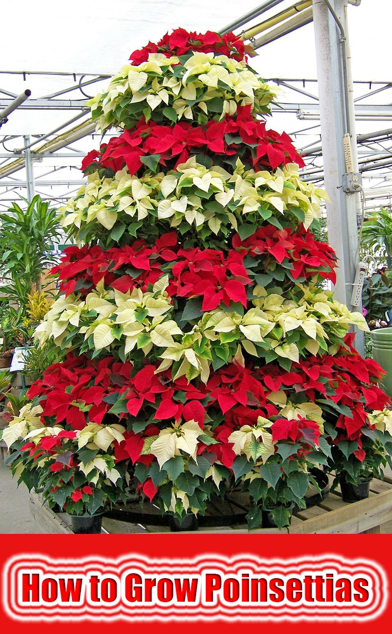How To Grow It And How To Use It For: Quiet Corner:How To Grow Poinsettias