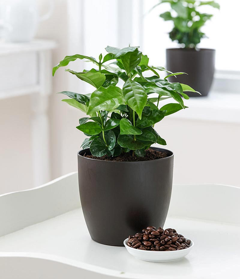 How to Grow a Coffee Plant
