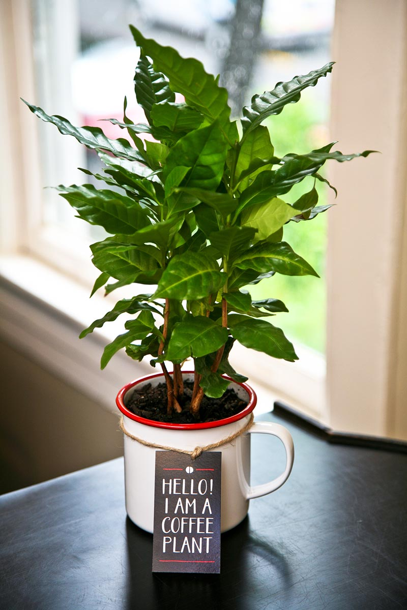 Quiet Corner How To Grow A Coffee Plant Quiet Corner