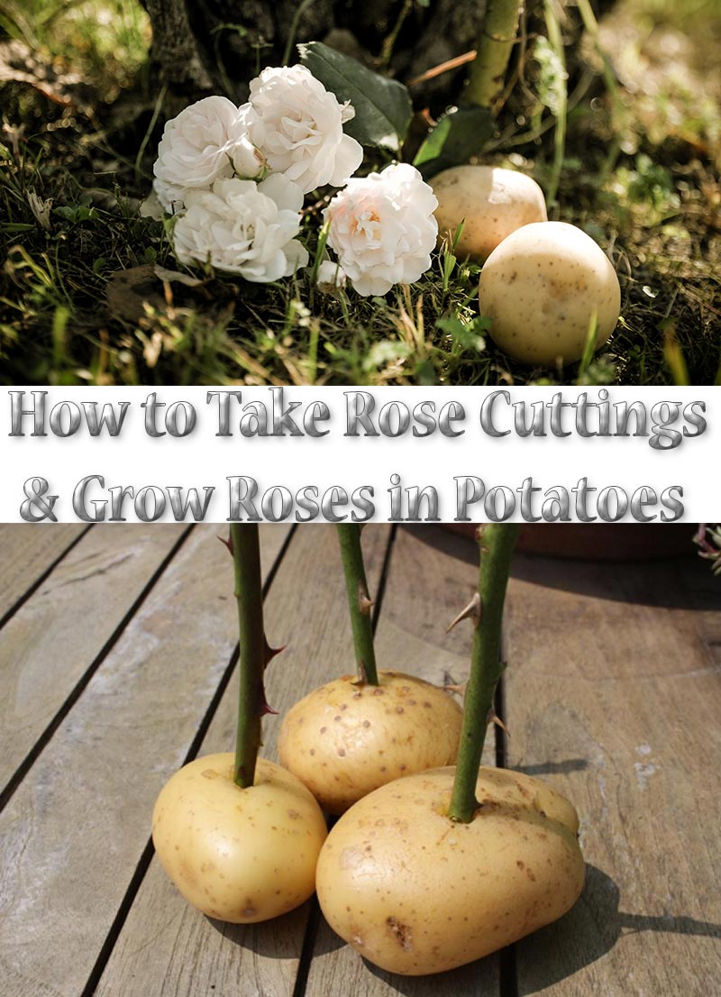 How to Take Rose Cuttings and Grow Roses in Potatoes