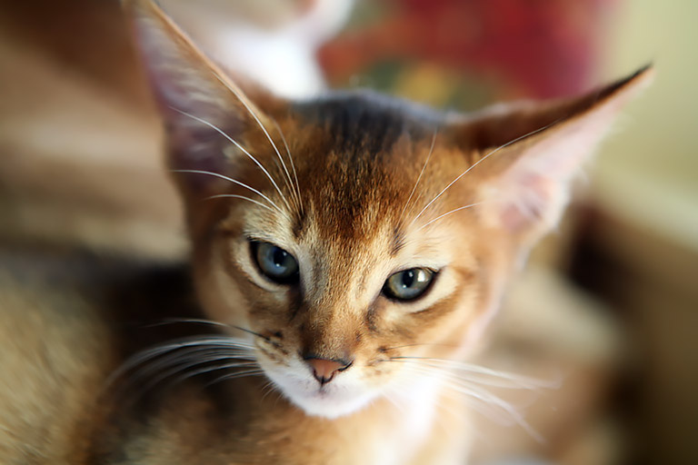 Breed Profile - Magical Abyssinian Cat