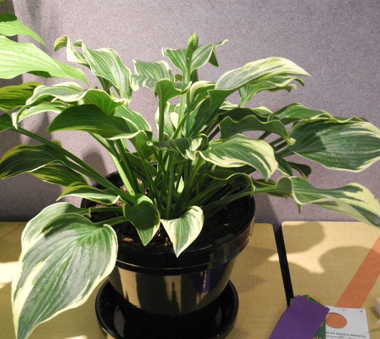Quiet Corner Container Gardening Ideas: Quiet Corner:How To Grow Hosta In Containers