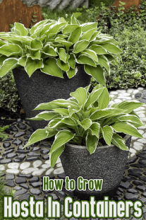How to Grow Hosta In Containers