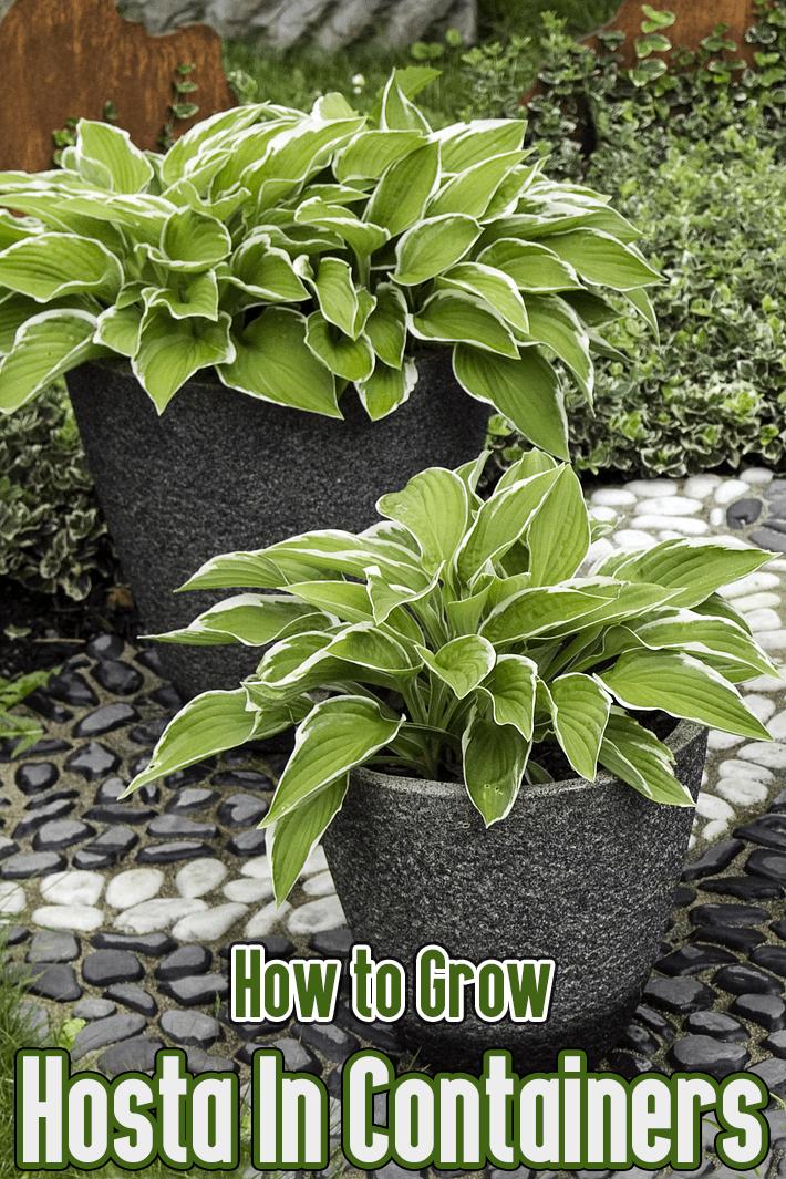 How to Grow Hosta in Containers - Quiet Corner