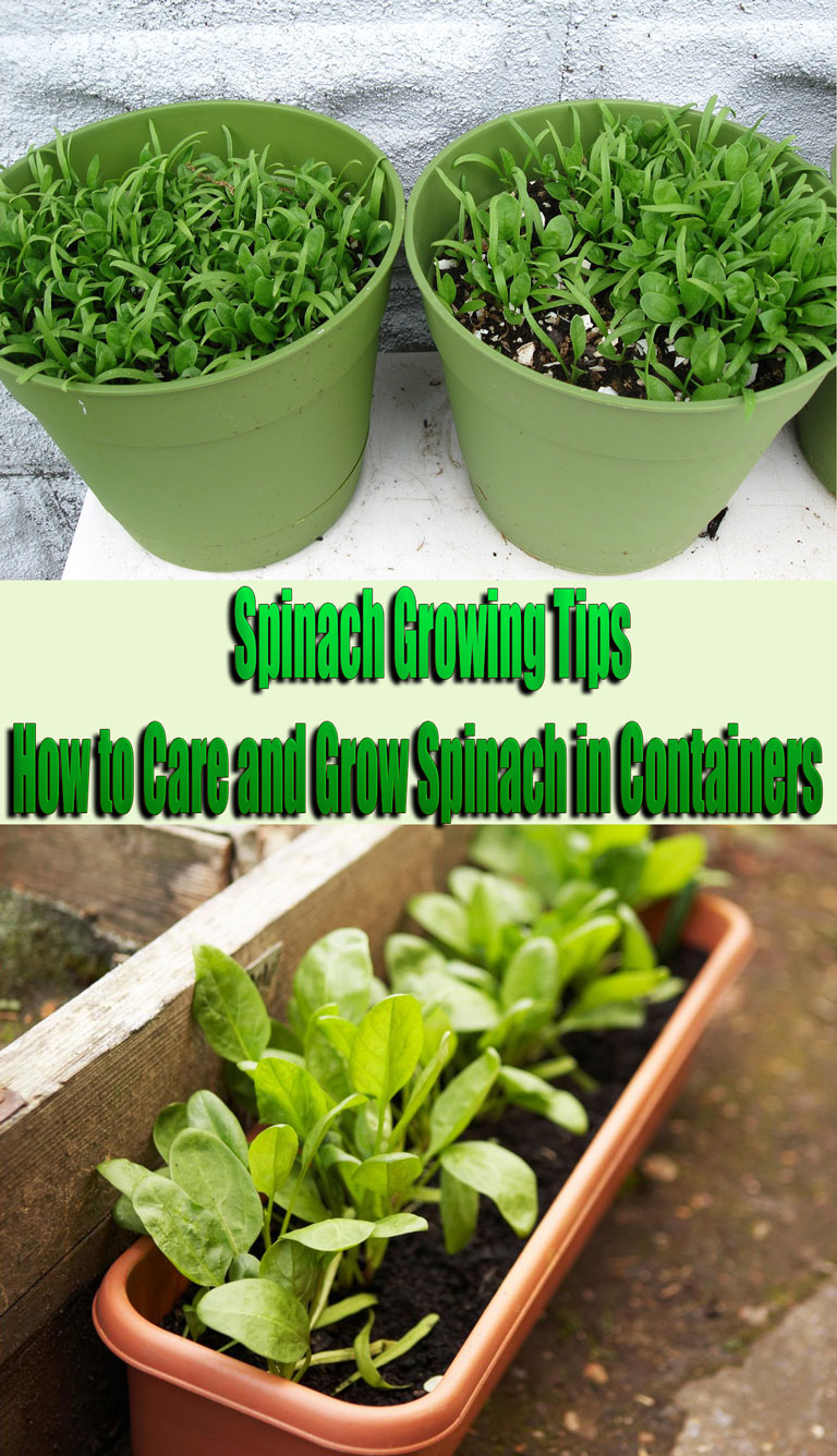 Spinach Growing Tips: How to Care and Grow Spinach in Containers