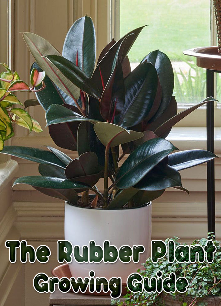 The Rubber Plant - Growing Guide - Quiet Corner