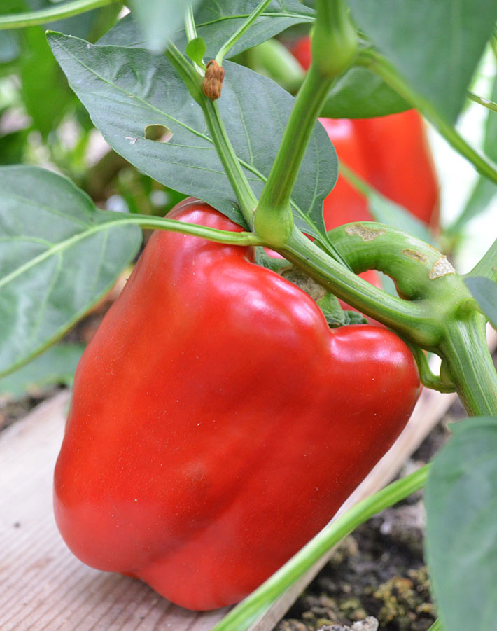 Bell Peppers - Growing Guide - Quiet Corner