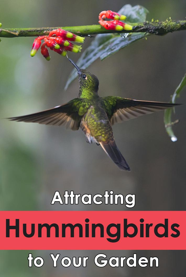 Attracting Hummingbirds to Your Garden - Quiet Corner