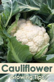 Tips For Growing Cauliflower