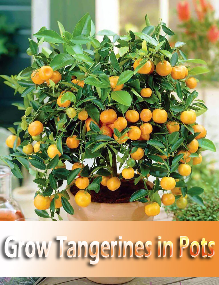 Quiet Corner How To Grow Tangerines In Pots Quiet Corner