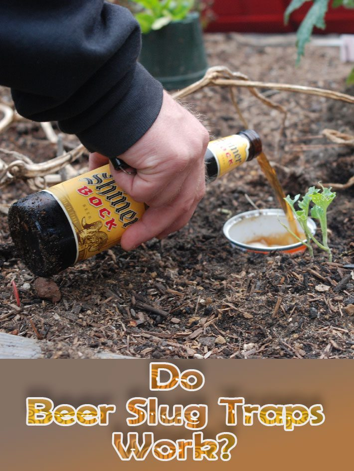 Do Beer Slug Traps work?