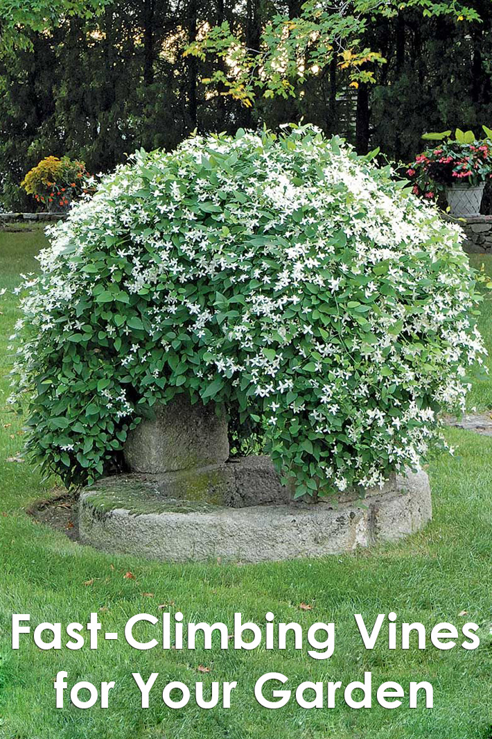 Fast-Climbing Vines for Your Garden - Quiet Corner