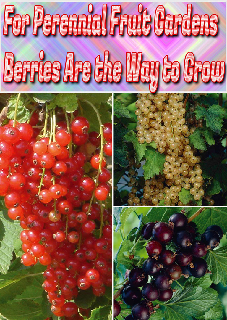 Hardy, easy to cultivate, resistant to disease, and quick to yield, berry bushes are perfect for just about any garden environment. Whether you have a large lot in which to plant fruit-bearing hedges, or a sunny balcony that would be perfect for hanging baskets, there's a berry plant that's ideal for your home. If you choose a perennial species, you'll only have to put in a bit of maintenance work now and then in order to enjoy a beautiful, bountiful harvest year after year... #gardening