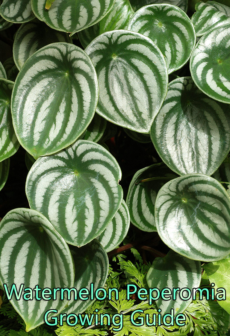 Watermelon Peperomia – Growing Guide