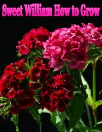 Sweet William How to Grow