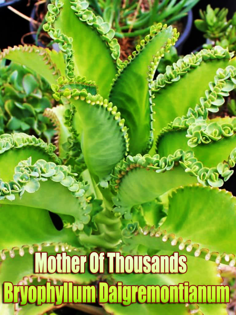 How to Care for a Mother Of Thousands - Bryophyllum Daigremontianum Plant. Bryophyllum daigremontianum is a succulent perennial plant. Requires minimal care