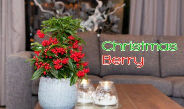 Christmas Berry – Info and Care