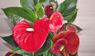 Flamingo Flower – Info, Care and More