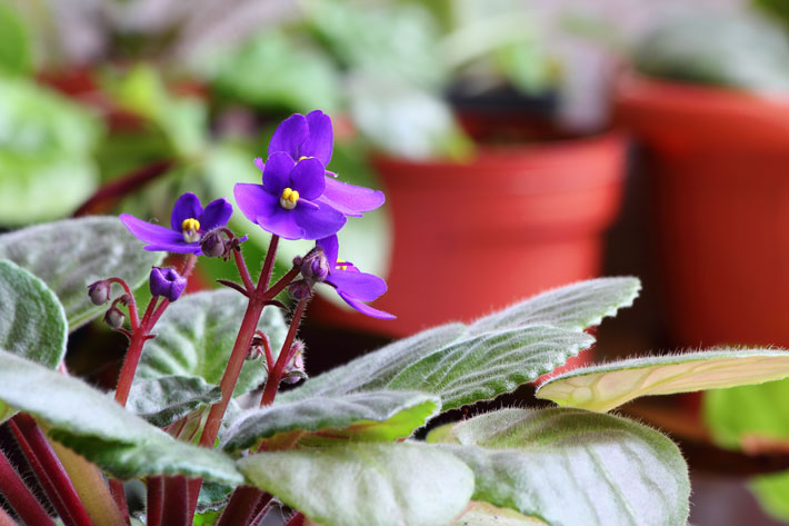 Everything you need to know about African Violet 4