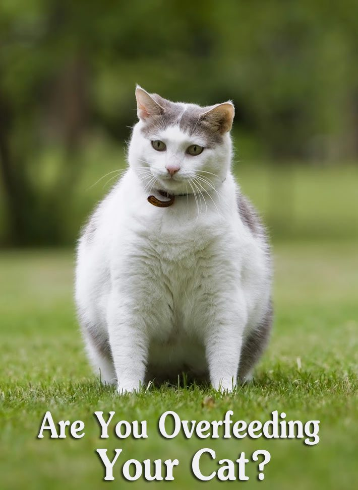 Are You Overfeeding Your Cat?