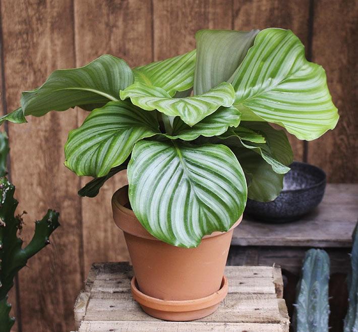 How to Grow and Care for Calathea Orbifolia 3